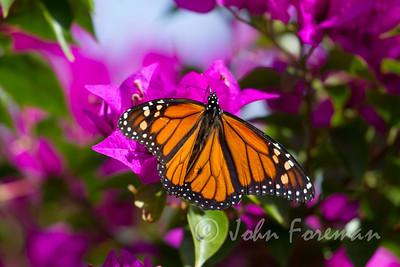 Monarch, Gran Canaria