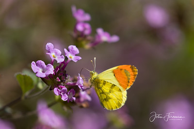 Provencal Orange-tip, Andalucia