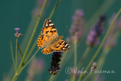 Painted Lady, France