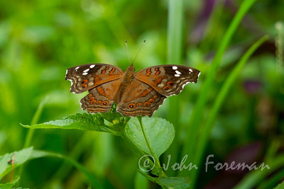 Brown Pansy, Kenya