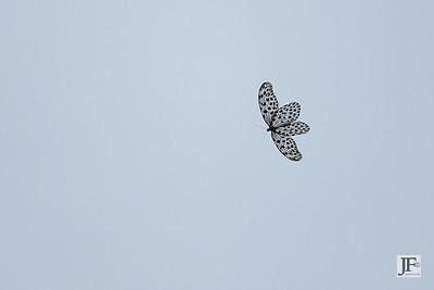 Paper Kite, Panti Forest