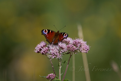 Peacock, Suffolk