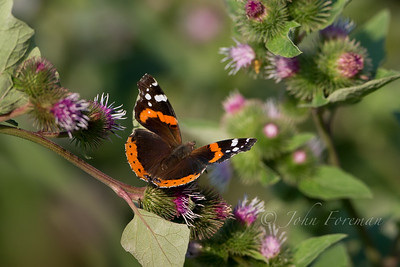 Red Admiral, Flatford