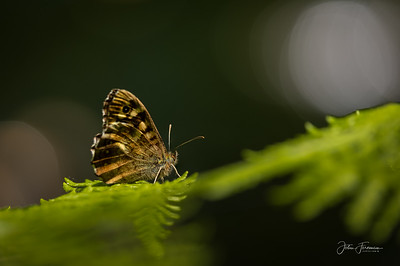 Speckled Wood, Hampshire