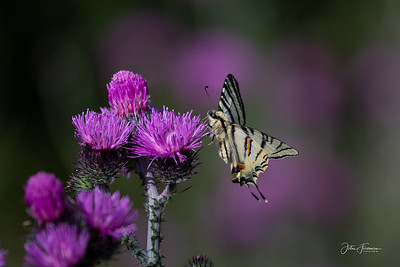 Scarce Swallowtail, Gorges du Verdon