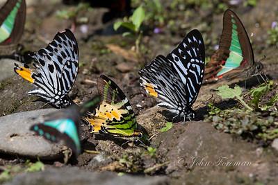 Fivebar Swordtail, West Sumatra