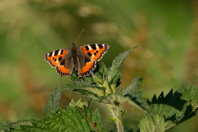 Small Tortoiseshell, Suffolk