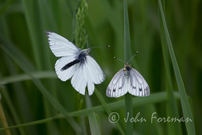 Small whites, Suffolk