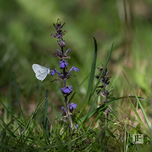 Wood White, Gers