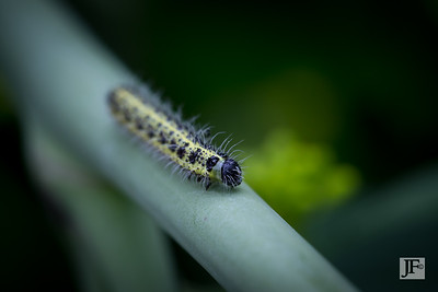 Cabbage White caterpillar, Gers