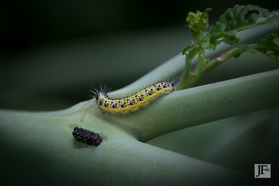 Cabbage White caterpillar & Harlequin eggs, Gers