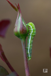 Angle Shade moth caterpillar, Gers