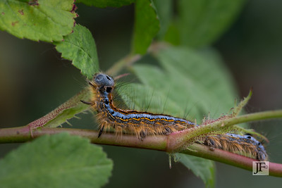 Lackey moth caterpillar, Gers
