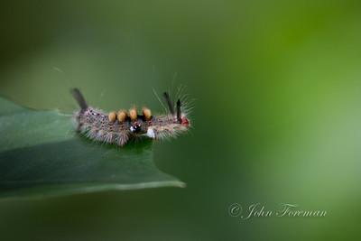 Rusty Tussock Moth Caterpillar, Jakarta