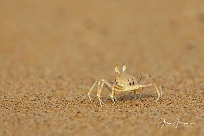 Ghost Crab, Koh Libong