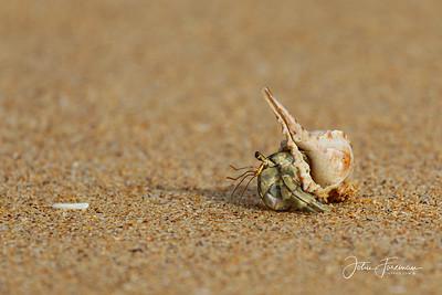 Hermit Crab, Koh Libong