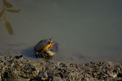 Mud Crab, Sungei Buloh
