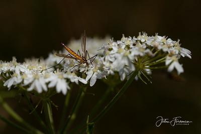 Cranefly, Dorset