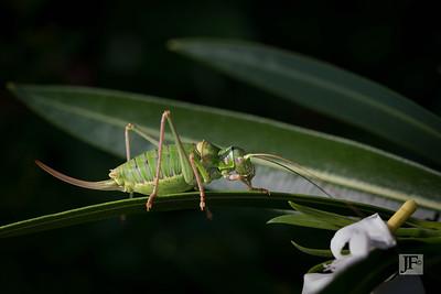 Sword tailed Grasshopper, Luberon