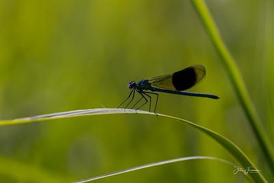 Banded Demoiselle, Dorset
