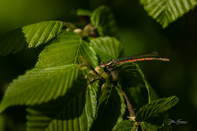 Large Red Damselfly, Dorset