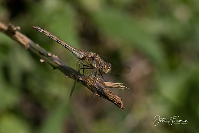 Common Darter, Somerset