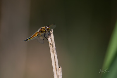 Four-spotted Chaser, Suffolk