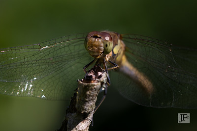Female Common Darter, Suffolk
