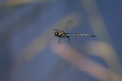 Migrant Hawker, Suffolk