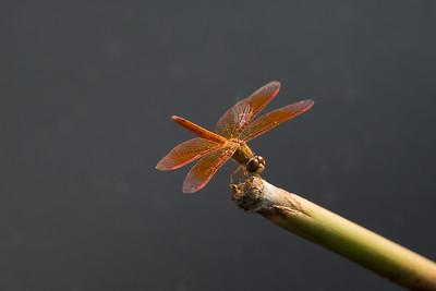 Common Amberwing, Pulau Ubin