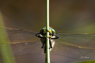 Golden-ringed Dragonfly, New Forest