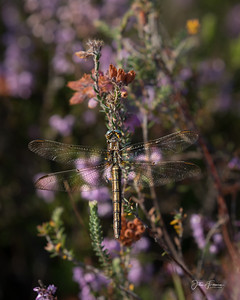 Female Keeled Skimmer, New Forest
