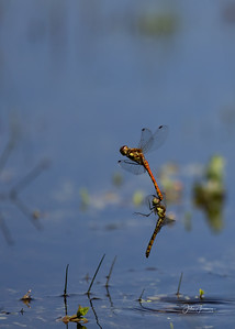Common Darters, New Forest