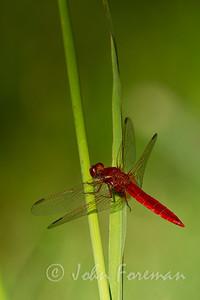 Broad Scarlet, Camargue