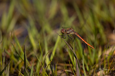 Common Darter, New Forest