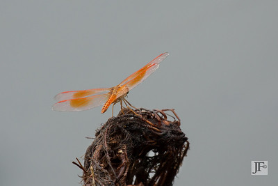 Common Amberwing