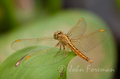 Female Common Amberwing, Lake Vembanad