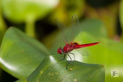 Common Scarlet, Kumaracom