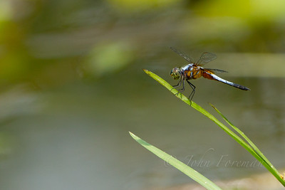 Blue Dasher, Pulau Ubin