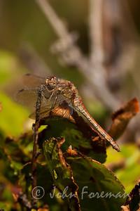 Common Darter, Minsmere