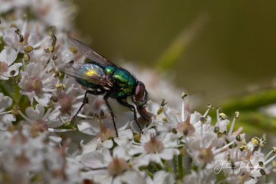 Greenbottle, Dorset