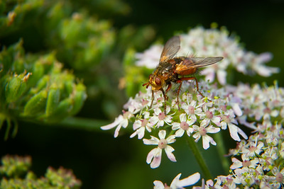 Yellow Dung fly, Suffolk