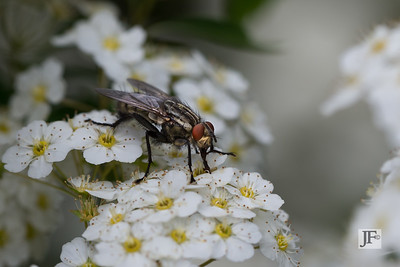 Flesh fly, Gers