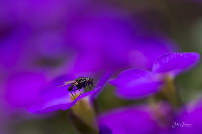Lesser House fly, Suffolk