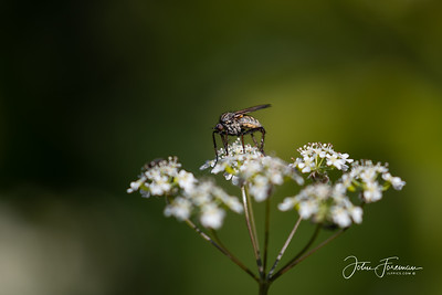 Small-headed Fly, Stour Valley