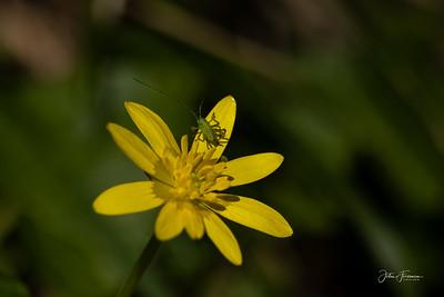 Speckled Bush Cricket, Wiltshire