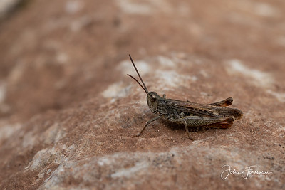 Common Field Grasshopper, Somerset