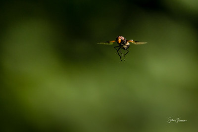 Pellucid HoverFly, Hampshire