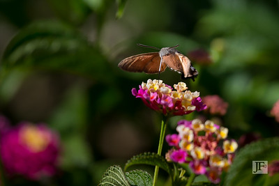 Hummingbird Hawk moth, Majorca