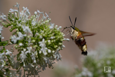 Clearwing Hummingbird Moth, Gers